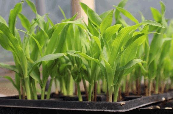 grow corn